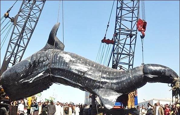 تصاویر بلند کردن یک کوسه نهنگی 12 متری با 5 جرثقیل
