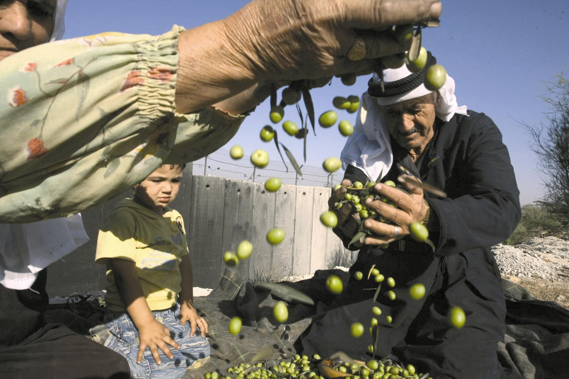 فلسطین - برداشت زیتون
