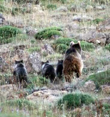 خرس مازندران
