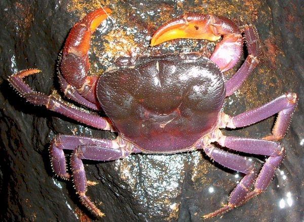 کشف گونههای جدید خرچنگ؛ تصاویری از خرچنگهای بنفش