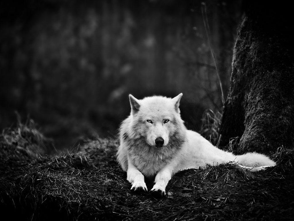 دانلود کنید: گرگ خاکستری