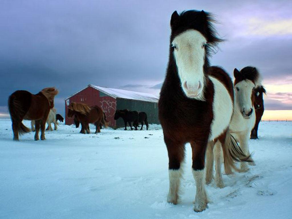 اسبهای سرزمین یخی