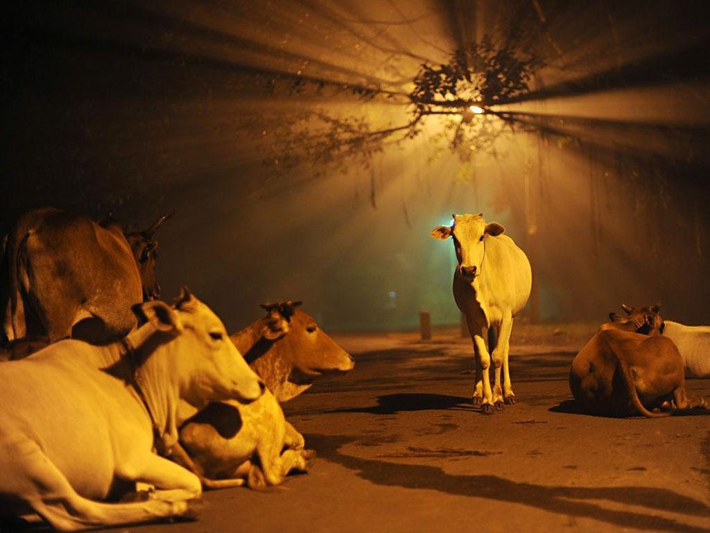 جاده در تسخیر گاوها
