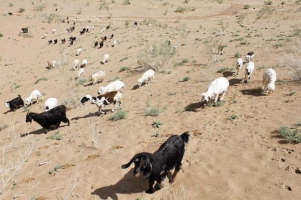 گوسفند - عشایر