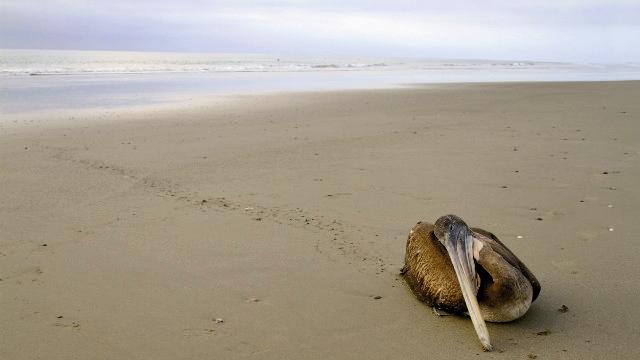 مرگ ناگهانی پلیکان - پرو
