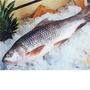 روشهای تشخیص ماهی تازه از مانده