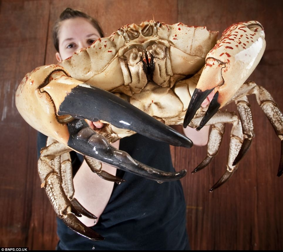 نمایش خرچنگ 6 کیلویی در آکواریومی در انگلستان