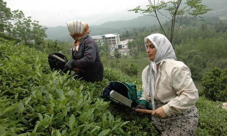 برداشت برگ سبز چای گیلان از اول اردیبهشت ۹۹