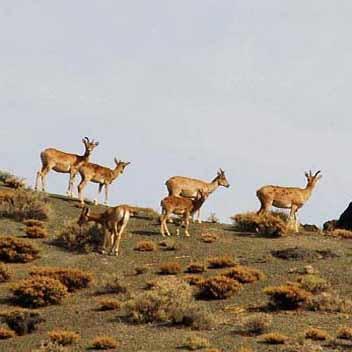 پارک ملی گلستان - آهو