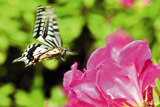 پروانه - گل