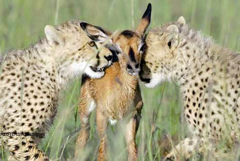حیوانات - یوزپلنگ