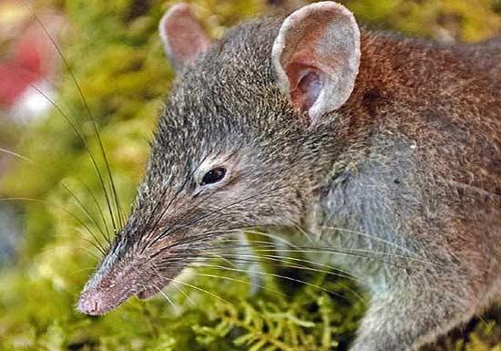 آشنایی با موش کم دندان