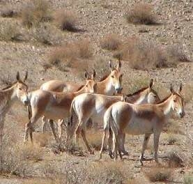 افزایش تعداد گونه درمعرض انقراض گورخر ایرانی