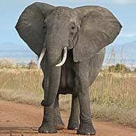 راز صدای بلند فیلها