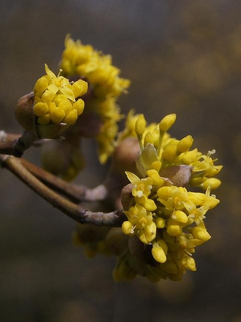 شکوفههای زغالاخته