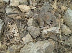 مشاهده یکی از کوچکترین جوندگان دنیا در استان قم