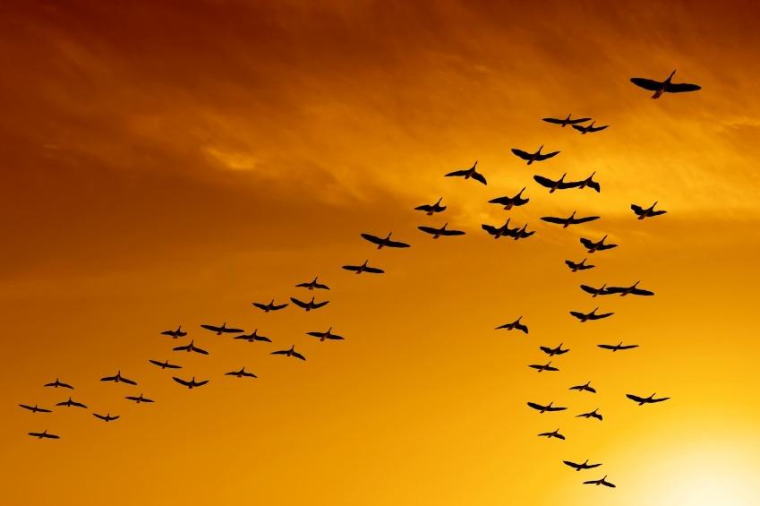 پرنده مهاجر