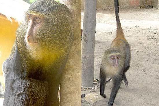 گونه جدید میمون رنگارنگ در آفریقا