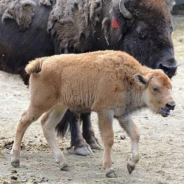 تولد اولین گاومیش کوهاندار خالص ژنتیکی از جنین پیوندی پاکسازی شده