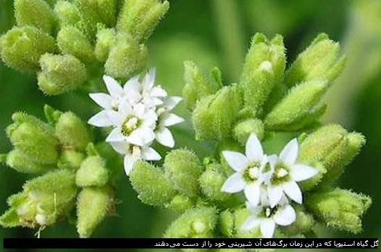 گل گیاه استیویا که در این زمان برگهای آن شیرینی خود را از دست می دهند