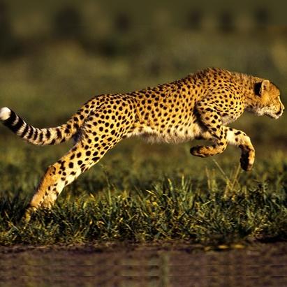راز سرعت بی نظیر یوزپلنگ