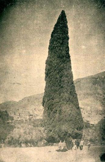 تصاویری از سرو 2000 ساله هرزبیل