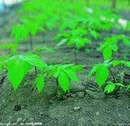 موافقت چین با افزودن جینسان به محصولات غذایی