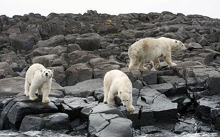 رو در رو با خرسهای قطبی