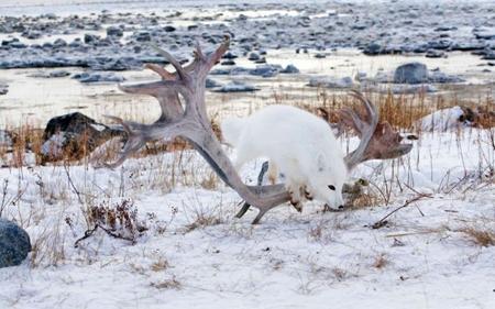 سفید روی سفید: روباه قطب شمال