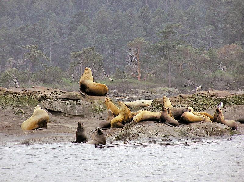 حذف شیرهای دریایی از فهرست گونههای در معرض انقراض آمریکا