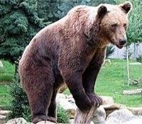 حمله ۳ خرس قهوهای به چوپان سمیرمی