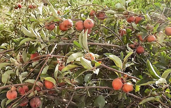 طوفان، ۴۸درصد از سیب آذربایجانغربی را نابود کرد