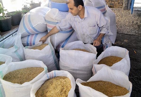 واردات بیرویه، شالیهای برنج را روانه انبار کرد