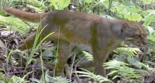 ثبت تصاویر جدید از گونه بسیار نادر گربه بورنئویی