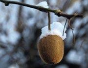 کیوی: دوست روزهای سرد، یار تناسب اندام