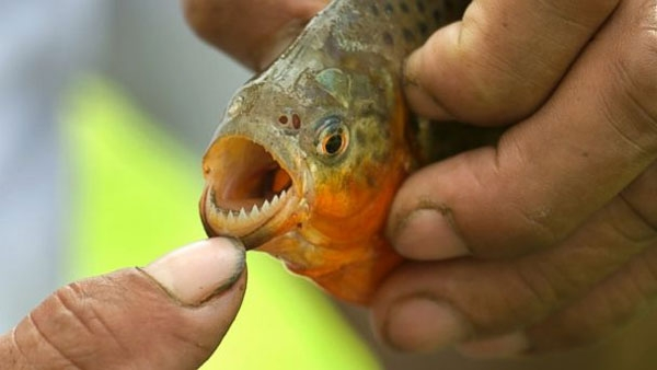 حملات پیایی ماهیهای وحشی به مردم در سواحل آرژانتین