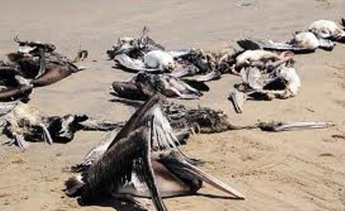 مرگ دسته جمعی حیوانات دریایی در سواحل پرو