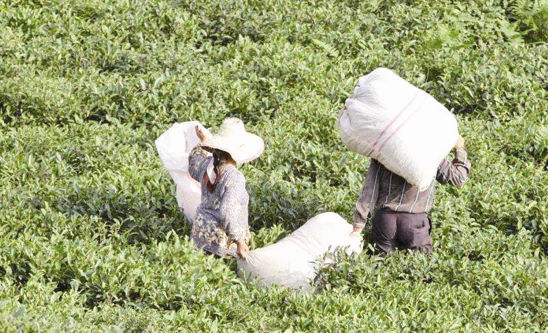 64هزار خانواده چایکار هنوز از دولت طلبکارند
