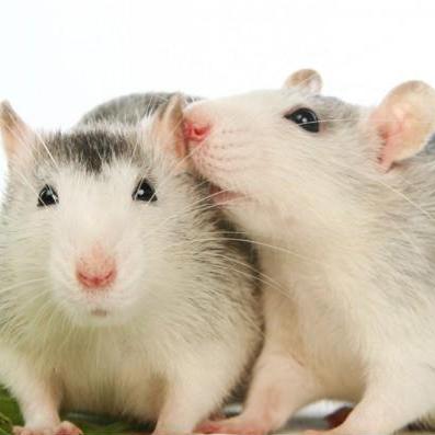 چرا موشها یکدیگر را بو میکشند؟