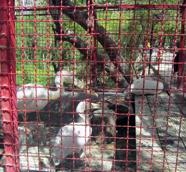 تصاویری از پلیکانهای معروف باغ گلشن طبس