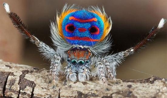 طاووس عنکبوتها