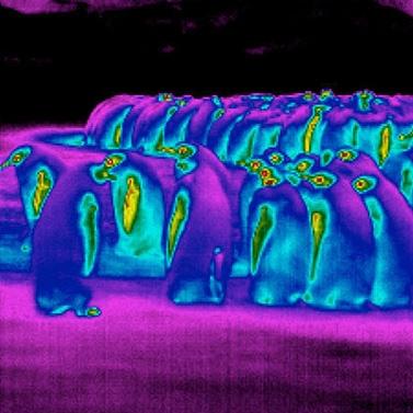 راز سازگاری پنگوئننا با هوای قطبی