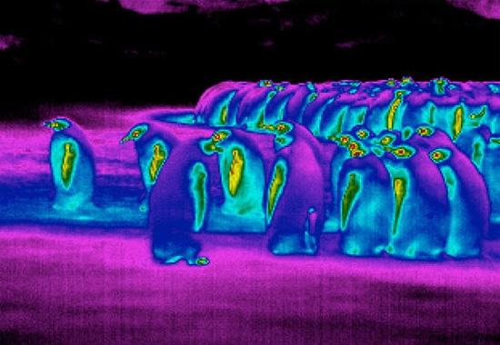 رنگ یخی قطبی همشهری آنلاین: راز سازگاری پنگوئن با هوای قطبی