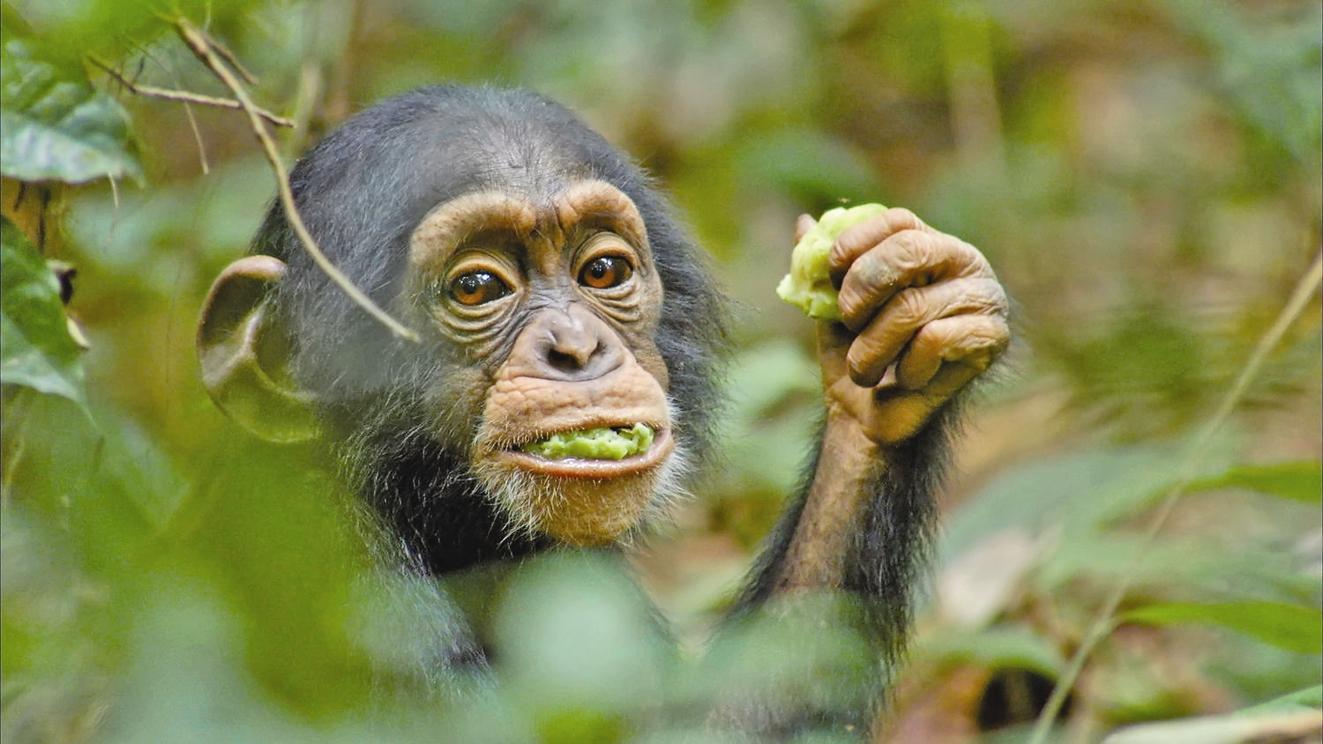 ویدئو | جنجال بر سر شامپانزه معروف باغ وحش ارم