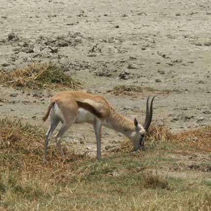 گونهای جدید غزال در حاشیه خلیج فارس