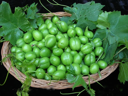مصرف زیاد گوجه سبز ممنوع