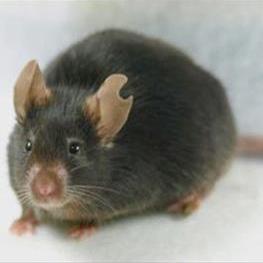 با یک قطره خون، اولین موش شبیه سازی شده به دنیا آمد