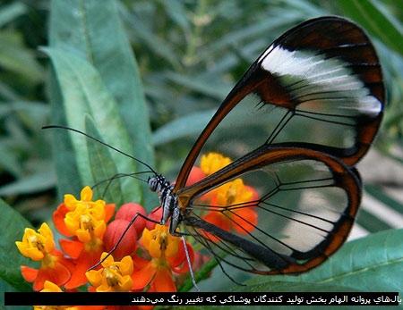 بالهای پروانه الهام بخش تولید کنندگان پوشاکی که تغییر رنگ میدهند