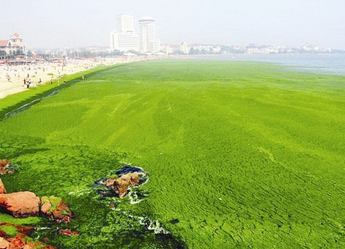 عظیمترین فرش جلبکی در ساحل چین