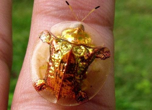لاک پشت طلایی یا سوسک جواهر نشان
